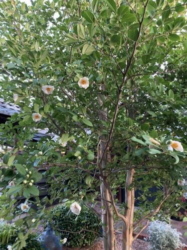 本日の沙羅双樹イメージ1