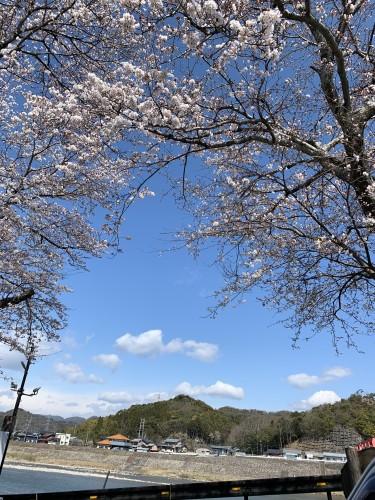 小瀬鵜飼と桜の木イメージ1