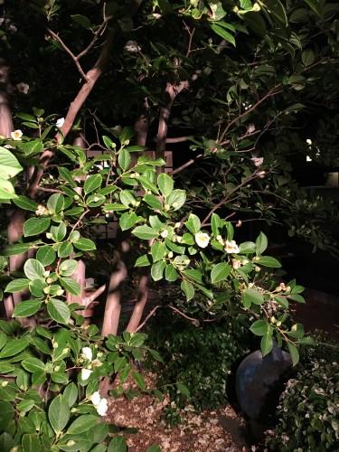 ライトアップ沙羅双樹イメージ1