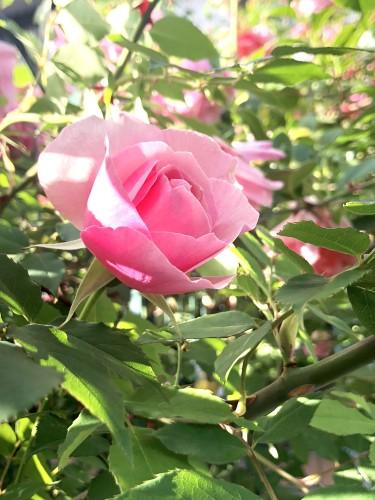 アダチの薔薇イメージ1