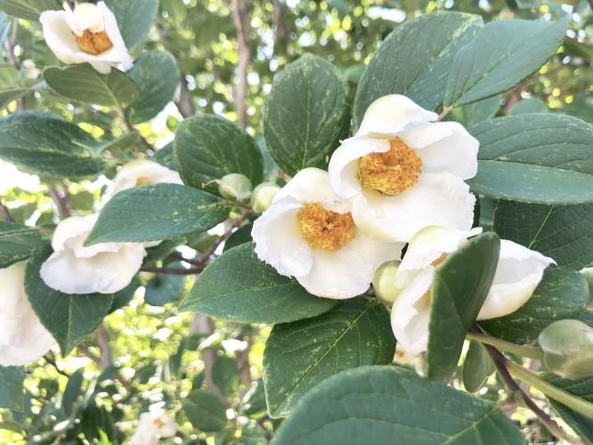 午後の沙羅双樹イメージ1