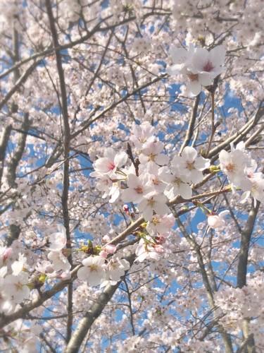 桜が見頃ですイメージ1