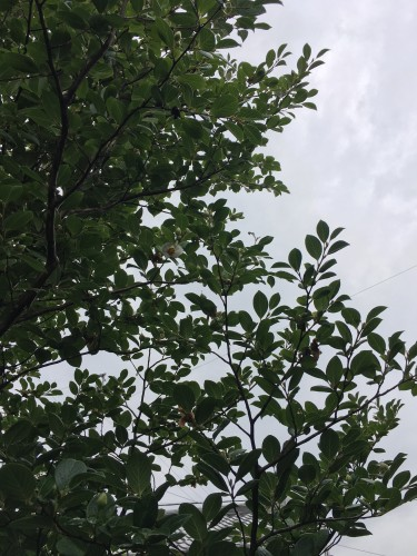 沙羅双樹の状況イメージ1