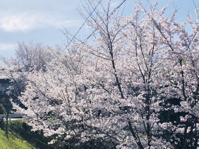 桜が見頃ですイメージ2