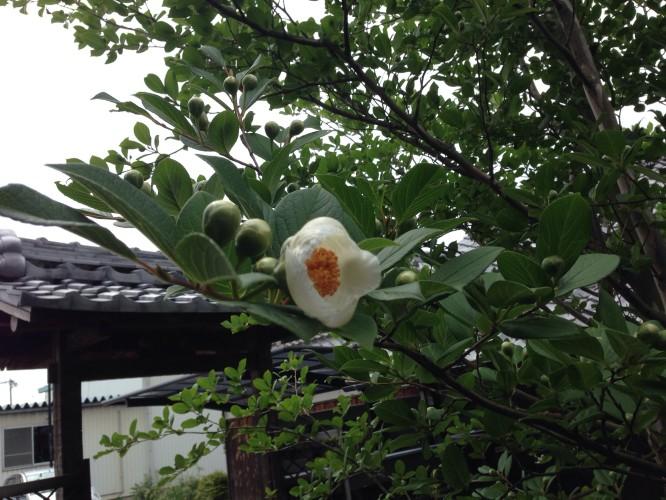 沙羅双樹の花が咲きました。イメージ3