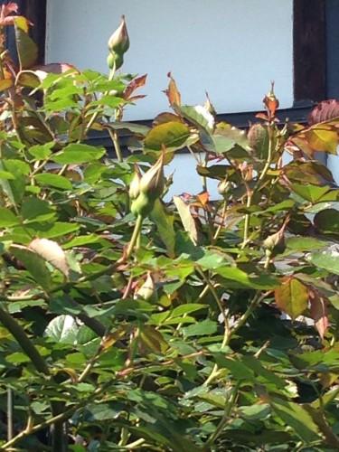 バラの蕾イメージ1