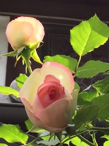 バラが咲きました。イメージ1