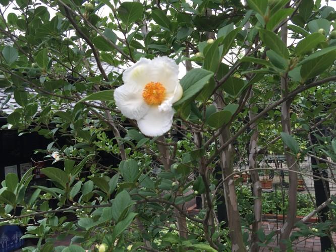 沙羅双樹開花!イメージ1