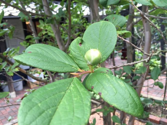 沙羅双樹の花イメージ1