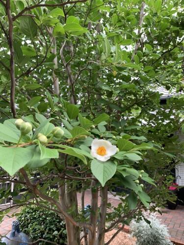 シンボルツリー開花!イメージ1