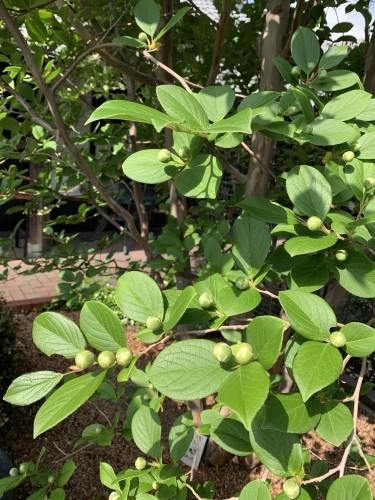 沙羅双樹観察記録イメージ1