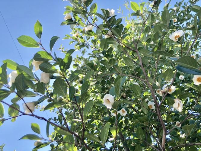 午後の沙羅双樹イメージ2
