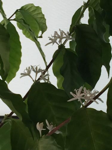コーヒーの花!イメージ1