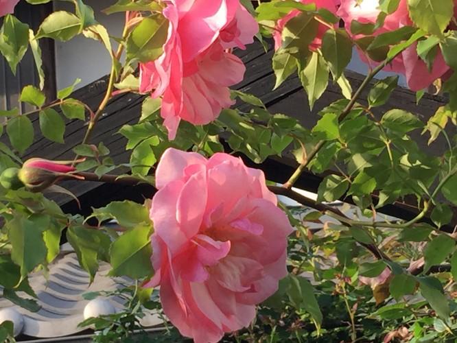 ばらの花イメージ1