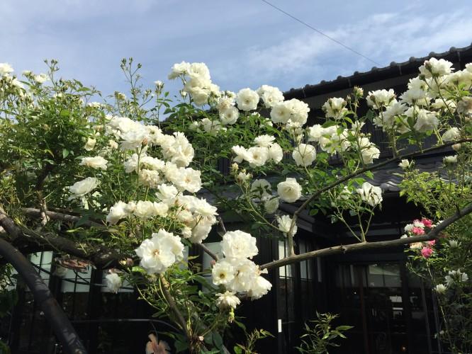 バラの開花がピークを迎えています。イメージ1