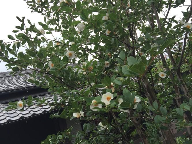 沙羅双樹の花の色。。イメージ3