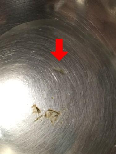 エビの赤ちゃん発見。イメージ3